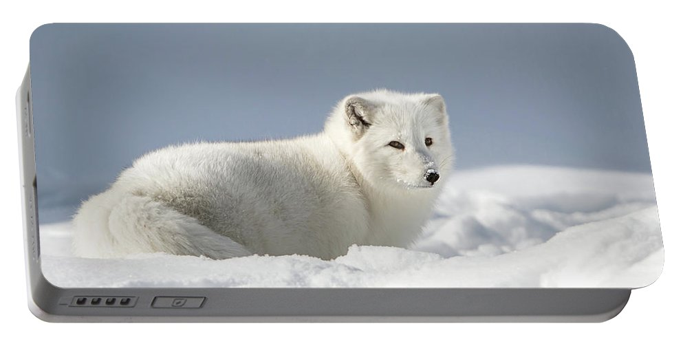 Arctic Fox Portable Battery Charger featuring the photograph White Beauty by Jack Bell