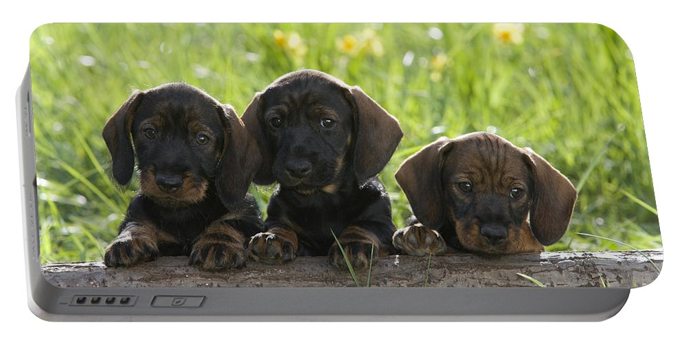 Standard Wire-haired Dachshund Portable Battery Charger featuring the photograph Wire-haired Dachshund Puppies by Jean-Louis Klein & Marie-Luce Hubert