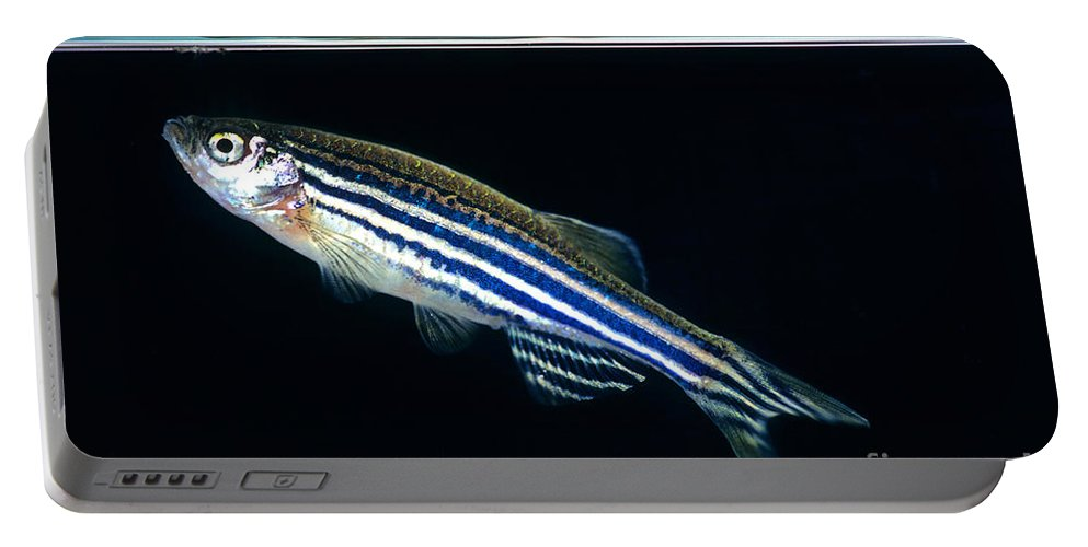 Zebra Danio Portable Battery Charger featuring the photograph Zebrafish Danio Rerio by Inga Spence