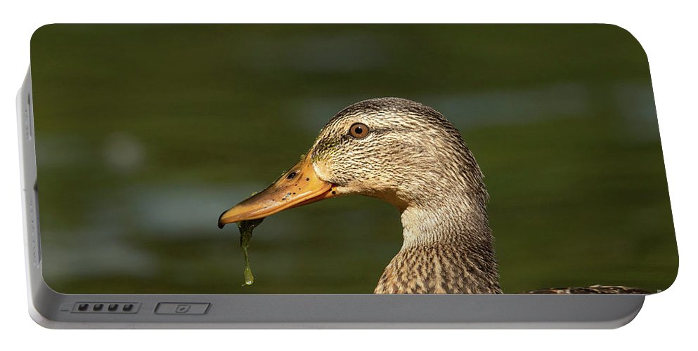 Mallard Portable Battery Charger featuring the photograph Female Mallard With Seaweed in Mouth by Nikki Vig