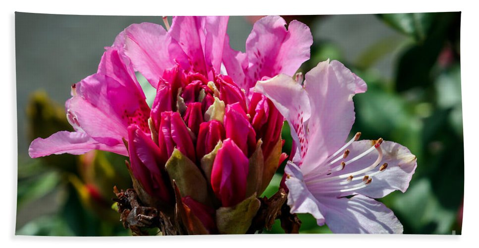 Rhododendron Macrophyllum Beach Towel featuring the photograph Coast Rhododendron by Robert Bales