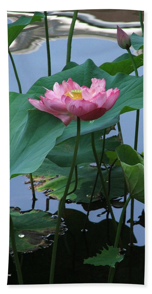 Lotus Beach Towel featuring the photograph Lotus Flower At Calloway by Robert Meanor