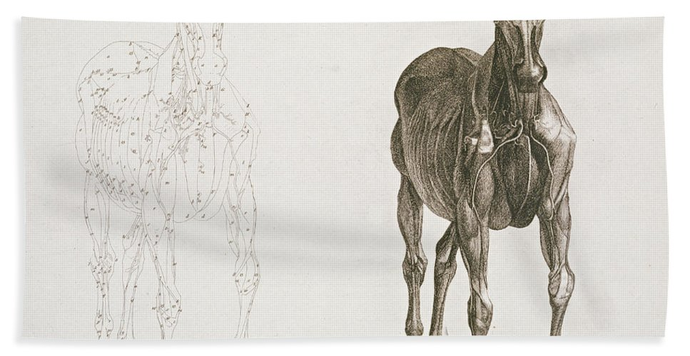 Tab Viii From The Anatomy Of The Horse Beach Towel for Sale by ...