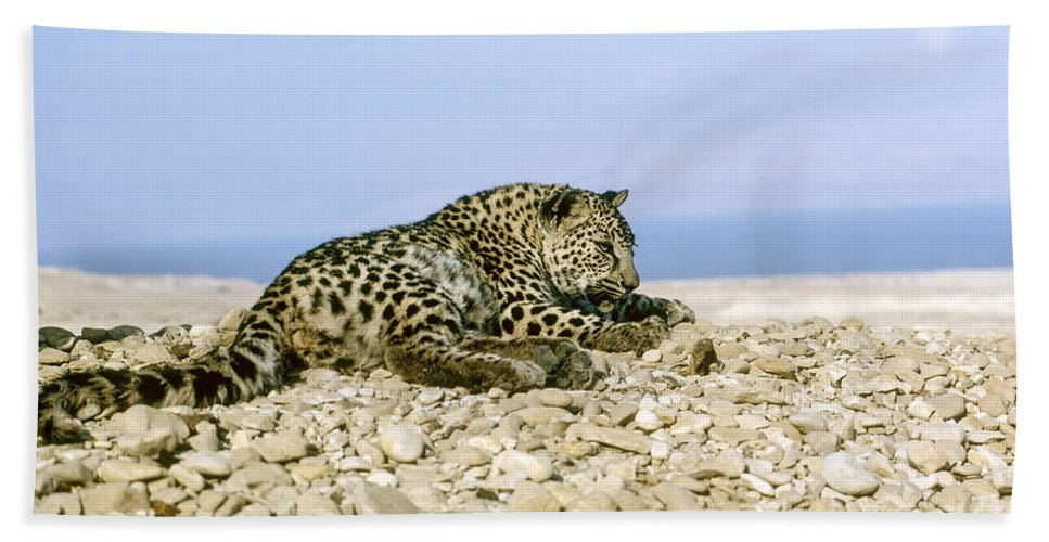 Leopard Beach Towel featuring the photograph Arabian Leopard Panthera Pardus 1 by Eyal Bartov