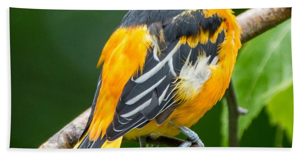 Bird Beach Towel featuring the photograph Baltimore Oriole by Richard Kitchen