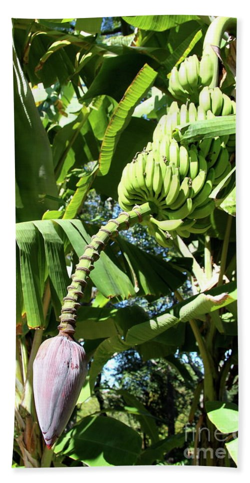 Banana Tree Beach Towel featuring the photograph Banana Tree by Christiane Schulze Art And Photography