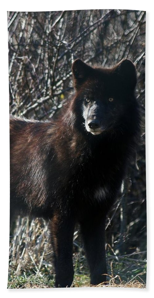 Canis Lupus Beach Towel featuring the photograph Black Wolf by Neal Eslinger