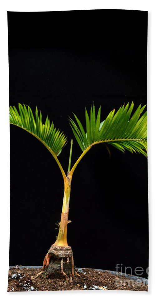 Plant Beach Towel featuring the photograph Bonsai Palm Tree by Antoni Halim