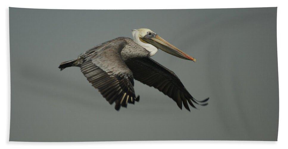 Pelican Beach Towel featuring the photograph Brown Pelican by Ernie Echols