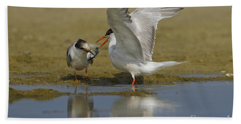 Common Tern Beach Towel featuring the photograph Common Tern Sterna Hirundo by Eyal Bartov