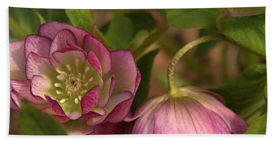 Beach Towel featuring the photograph Double Lenten Rose by Mel Hensley