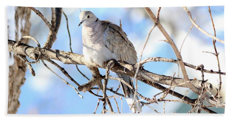 Eurasian Collard Dove Beach Towel featuring the photograph Eurasian Collard Dove by Lori Tordsen