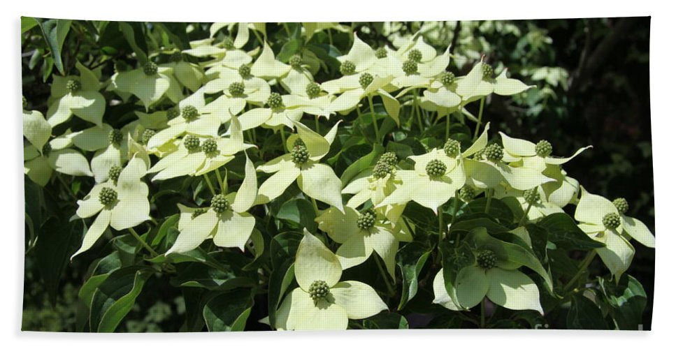 Dogwood Beach Towel featuring the photograph Flowering Dogwood by Christiane Schulze Art And Photography