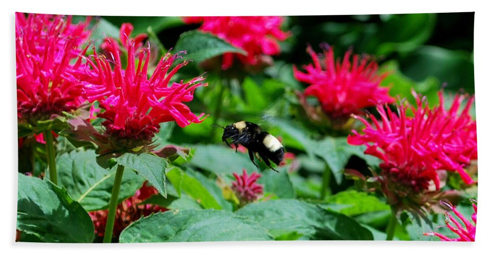 Bee Beach Towel featuring the photograph Flying Bee With Bee Balm Flowers by Nancy Mueller