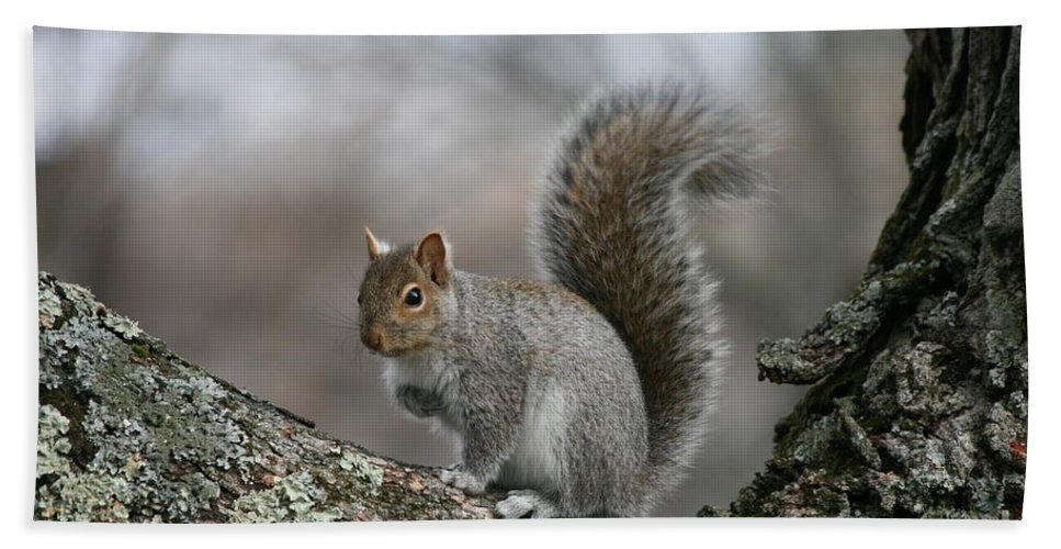 Squirrel Art Beach Towel featuring the photograph Gray Squirrel by Neal Eslinger