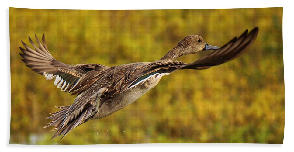 Roena King Beach Towel featuring the photograph Hen Northern Pintail In Flight by Roena King