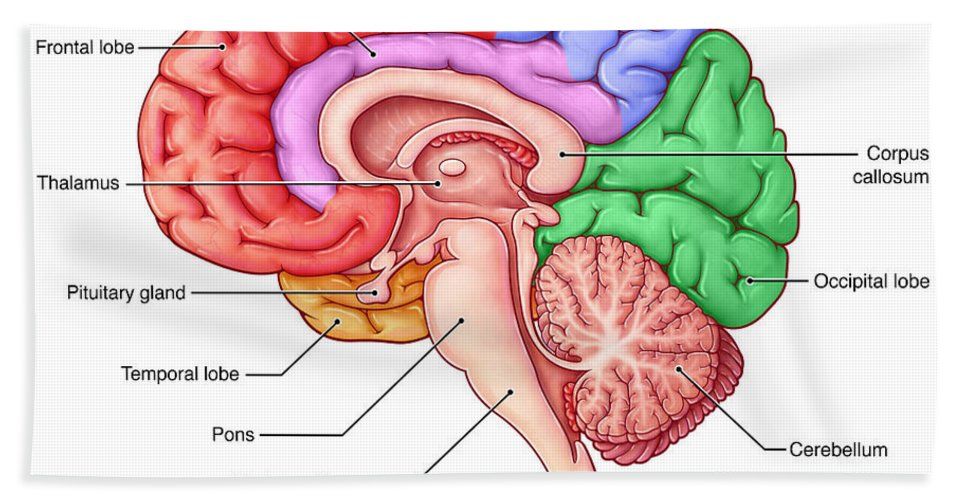 Lobes Of The Brain, Sagittal View Beach Sheet for Sale by Evan Oto