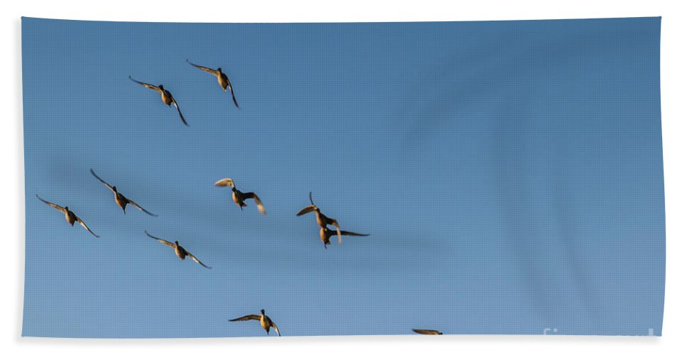 Duck Beach Towel featuring the photograph Northern Pintails by Robert Bales
