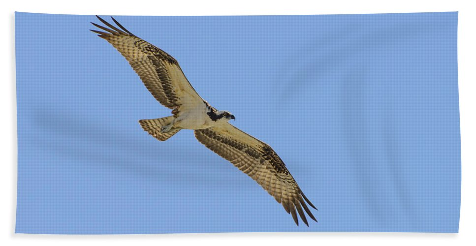 Accipitridae Beach Towel featuring the photograph Osprey In Flight by Steve Samples