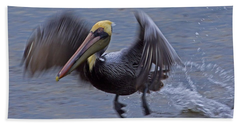 Elecanus Erythrorhynchos Beach Towel featuring the photograph Pelican Takeoff by J L Woody Wooden
