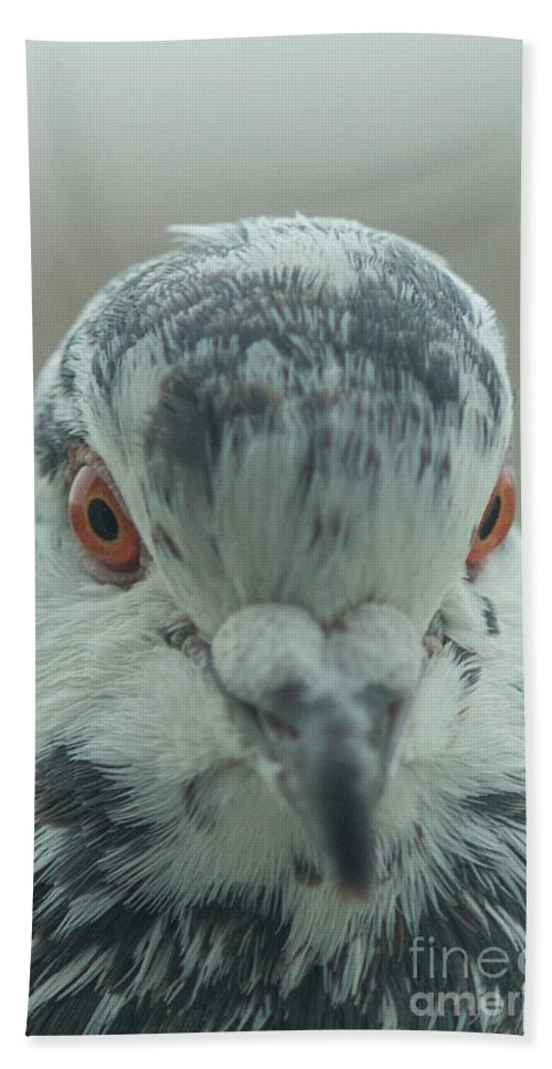 Birds Beach Towel featuring the photograph Pigeon Close-up by Jivko Nakev