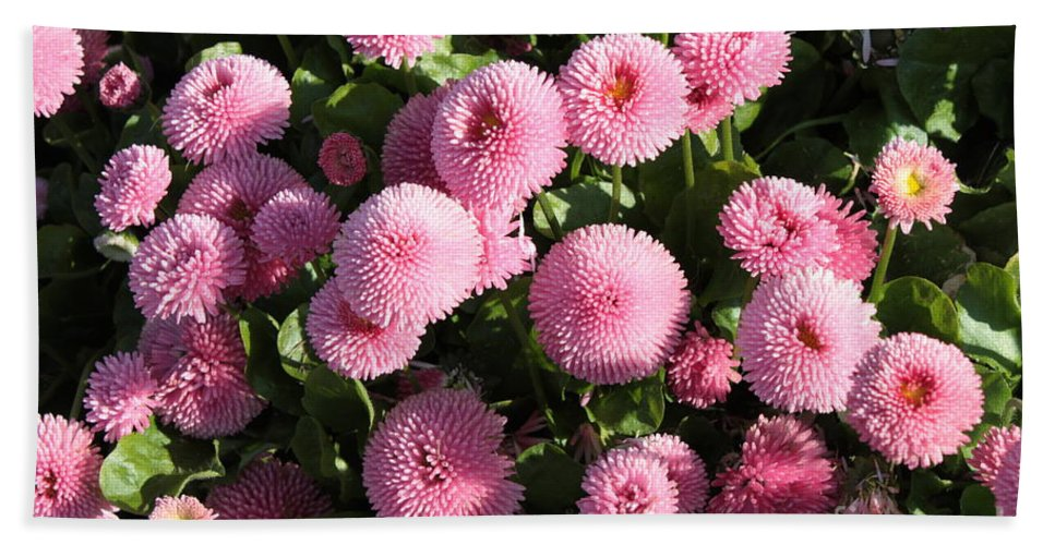 Button Pom Flowers Beach Towel featuring the photograph Pink Button Pom Flowers by Carol Groenen