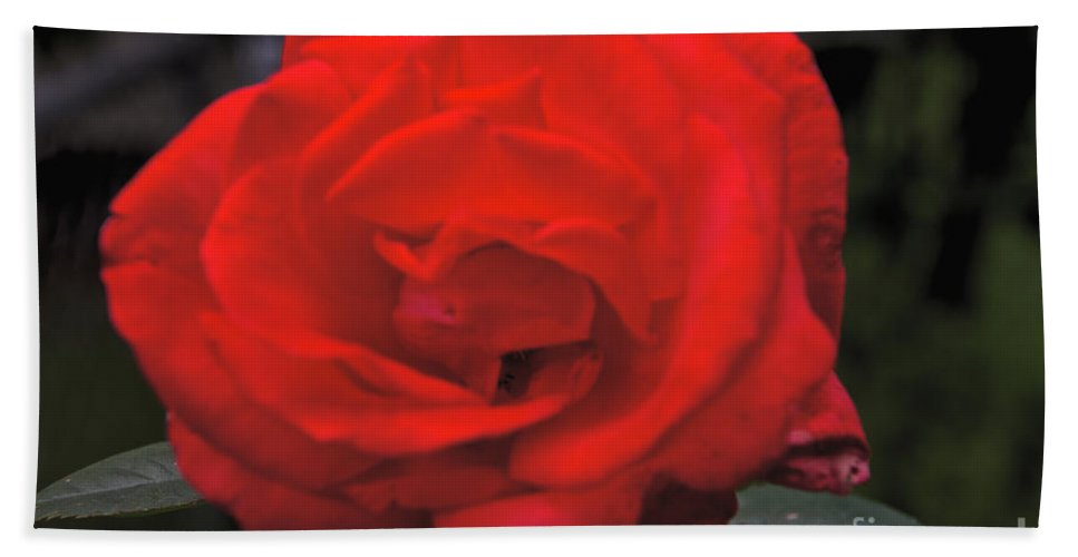 Red Rose Beach Towel featuring the photograph Red Rose by William Norton