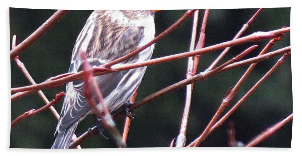 Redpoll Beach Towel featuring the photograph Redpoll by MTBobbins Photography
