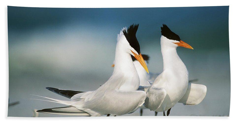 Royal Tern Beach Towel featuring the photograph Royal Terns by Paul J. Fusco