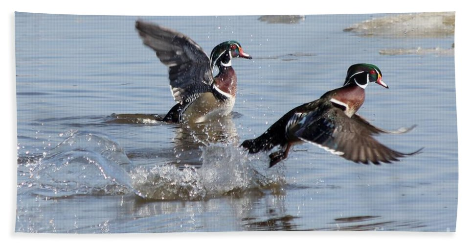 Wood Duck Beach Towel featuring the photograph Running On The Water by Lori Tordsen
