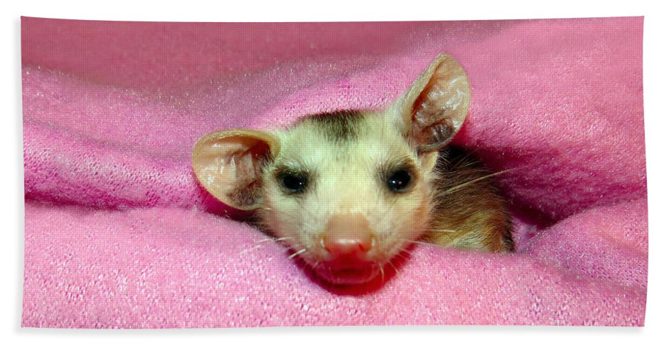 Opossum Beach Towel featuring the photograph Silly Gal by Art Dingo