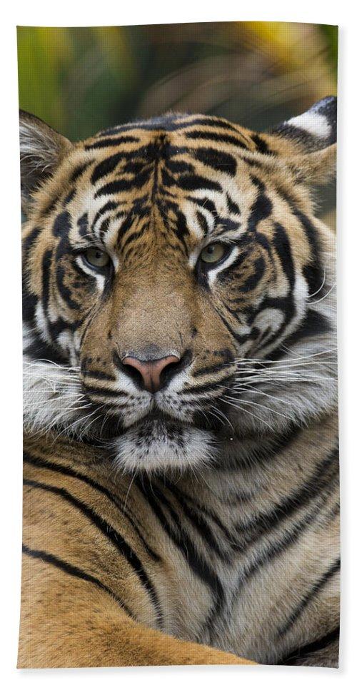 San Diego Zoo Beach Towel featuring the photograph Sumatran Tiger by San Diego Zoo