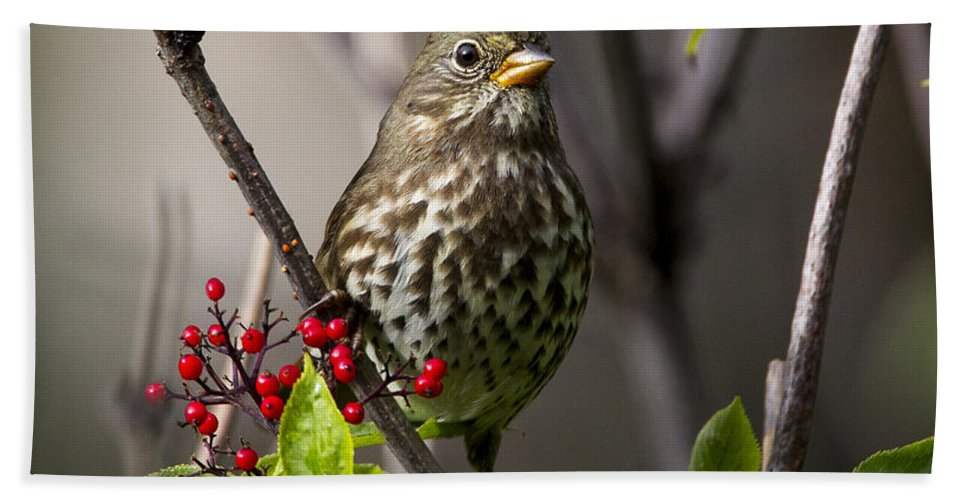 Doug Lloyd Beach Towel featuring the photograph Fox Sparrow by Doug Lloyd
