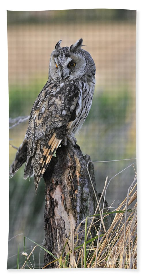 Long-eared Owl Beach Towel featuring the photograph 100205p262 by Arterra Picture Library