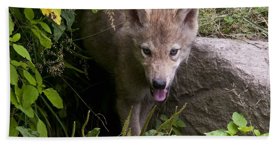 Timber Wolf Beach Towel featuring the photograph Timber Wolf Pup by Wolves Only