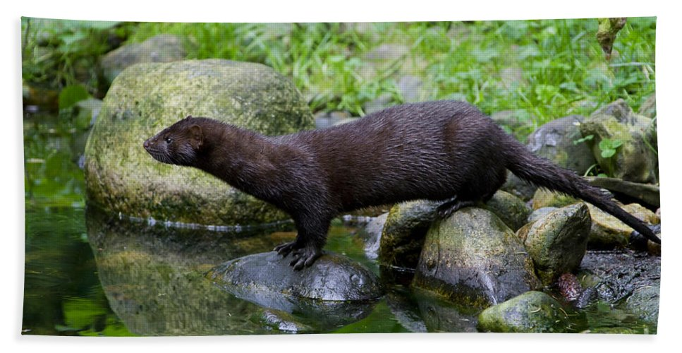 American Mink Beach Towel featuring the photograph 121213p013 by Arterra Picture Library