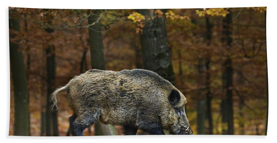 Wild Boar Beach Towel featuring the photograph 121213p284 by Arterra Picture Library