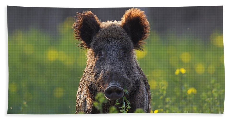 Wild Boar Beach Towel featuring the photograph 130901p341 by Arterra Picture Library
