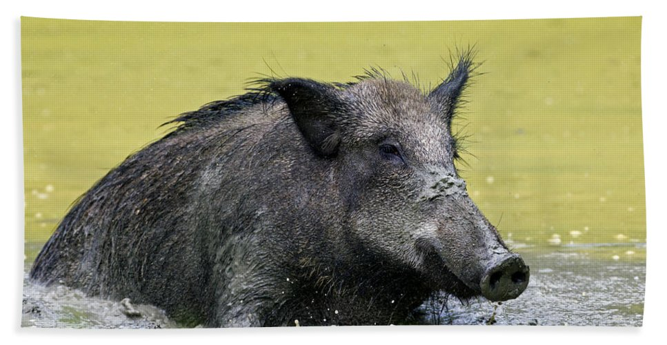Wild Boar Beach Towel featuring the photograph 140530p337 by Arterra Picture Library