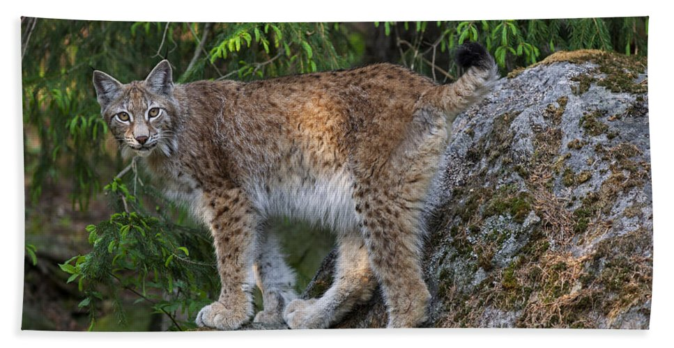 Eurasian Lynx Beach Towel featuring the photograph 150112p328 by Arterra Picture Library