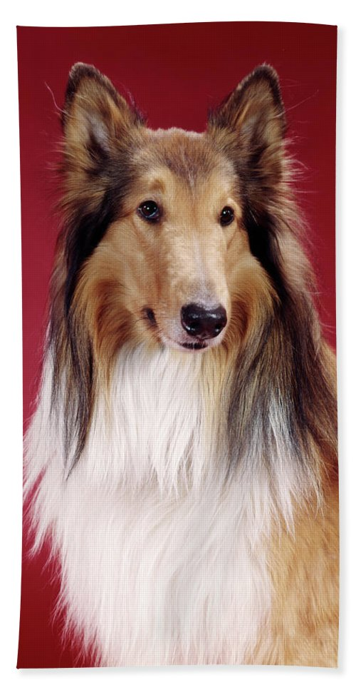 Photography Beach Towel featuring the photograph 1960s Portrait Of Collie Dog On Red by Vintage Images