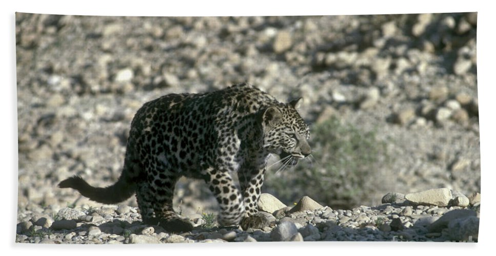 Leopard Beach Towel featuring the photograph Arabian Leopard Panthera Pardus 1 by Eyal Bartov