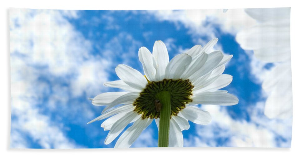 Blooming Beach Towel featuring the photograph Close-up Shot Of White Daisy Flowers From Below by Stephan Pietzko