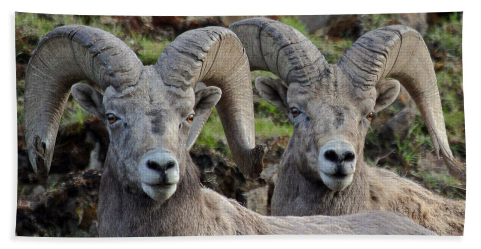 Bighorn Sheep Beach Towel featuring the photograph Double Take by Athena Mckinzie