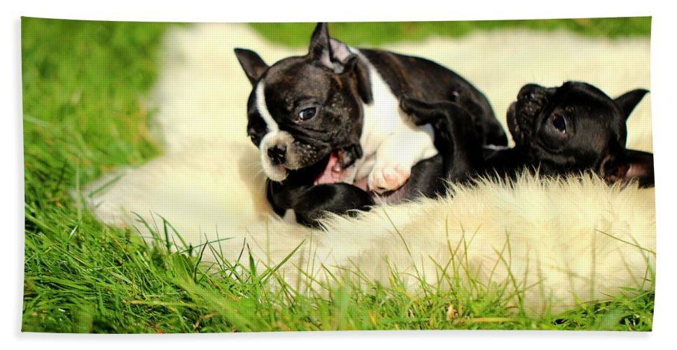 French Bulldogs Beach Towel featuring the photograph French Bulldoggs by Heike Hultsch