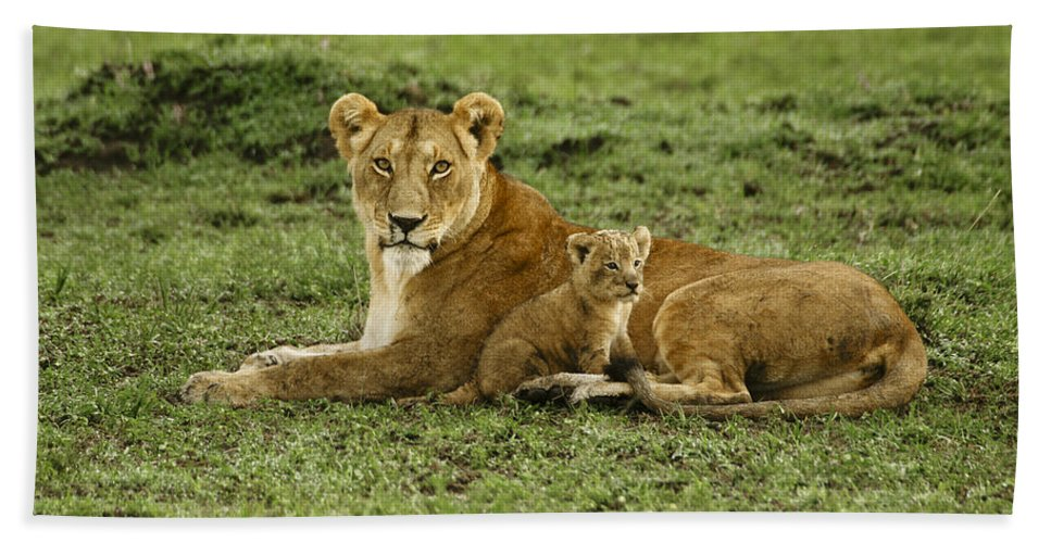 Lion Beach Towel featuring the photograph Mama's Little Baby by Michele Burgess