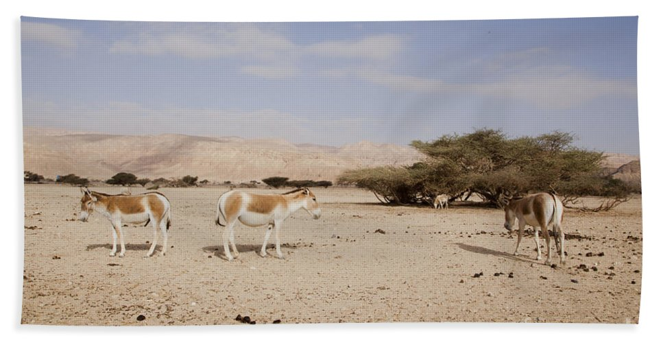 Wildlife Beach Towel featuring the photograph Onager Equus Hemionus 1 by Eyal Bartov