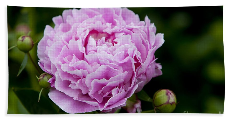 Peony Beach Towel featuring the photograph Pink Peony by Brian Jannsen