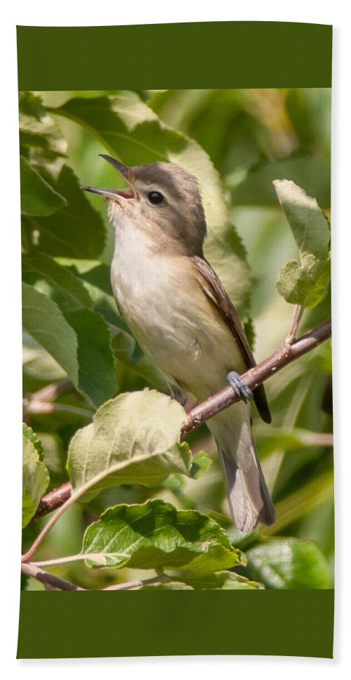 Bird Beach Towel featuring the photograph Red-eyed Vireo by Richard Kitchen