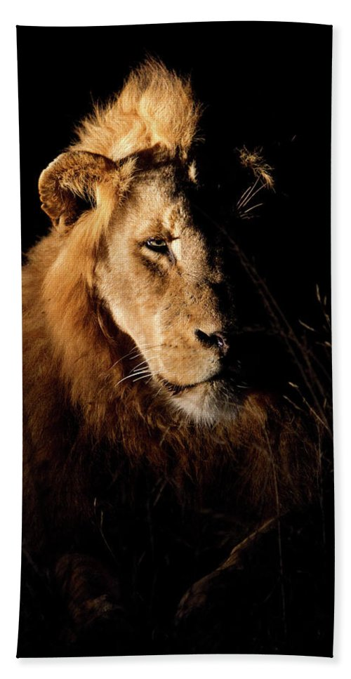 Lion Beach Towel featuring the photograph Spotlight by Max Waugh